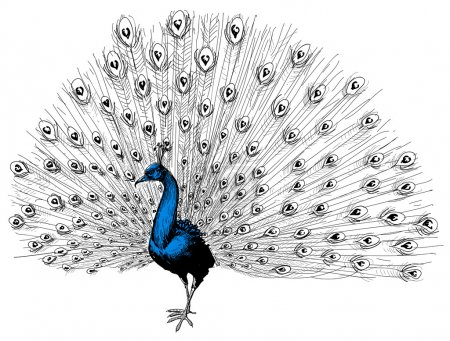 Illustration for Peacock isolated hand drawing - Royalty Free Image