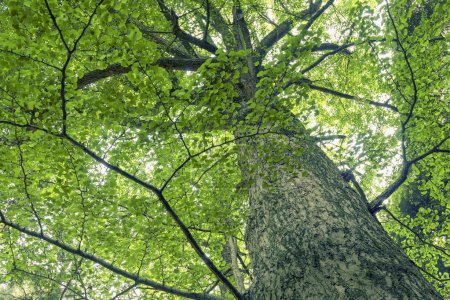 Photo for Giant and powerful ginkgo tree grow up by summer time - Royalty Free Image