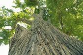 Giant elm tree