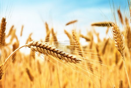 Photo for Ears of golden wheat against wheat field and blue sky - Royalty Free Image