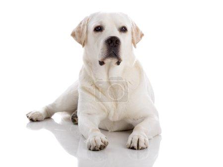 Photo pour Belle race labrador retriever couché sur le sol, isolé sur fond blanc - image libre de droit