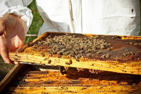 Beekeeper in an apiary
