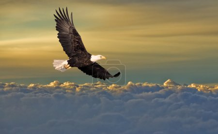 Bald eagle flying above the clou...