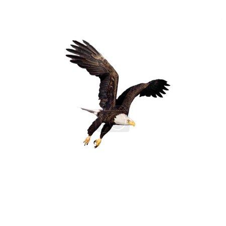 Bald Eagle ready to strike isolated on white