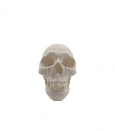 Human skull model isolated on white background