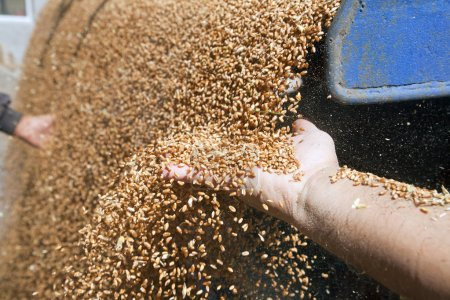Hands with wheat grains