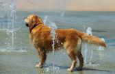 Zlatý retrívr v horkém létě se těší vody ve fontáně
