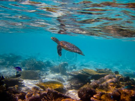 Photo pour Hawksbill Tortue nageant comme voler aux Maldives - image libre de droit