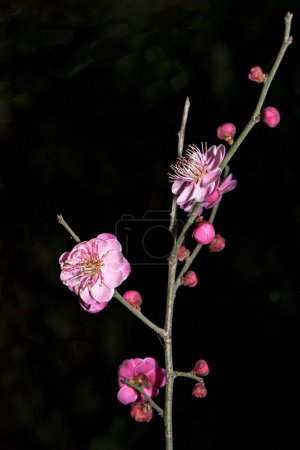 The beautiful cut flowers of plum  blossom  on the...