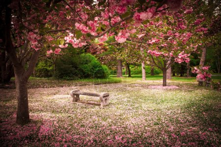 Photo for Tranquil garden bench surrounded by cherry blossom trees - Royalty Free Image