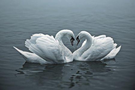 Photo pour Le couple de cygnes avec leur cou forment un cœur . - image libre de droit