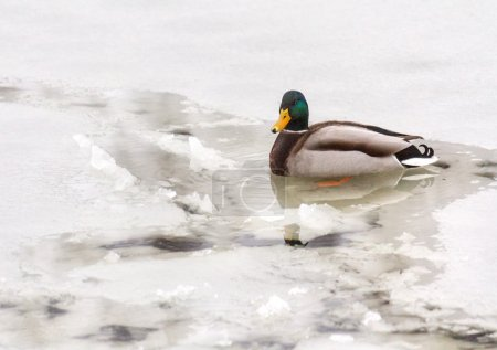 Mallard duck in unfrozen patch of water in the ice...