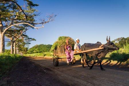 Малагасийский пару и корзину зебу