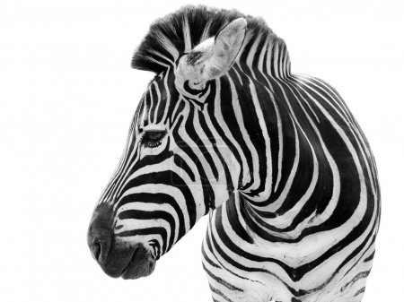 Male zebra isolated on white background