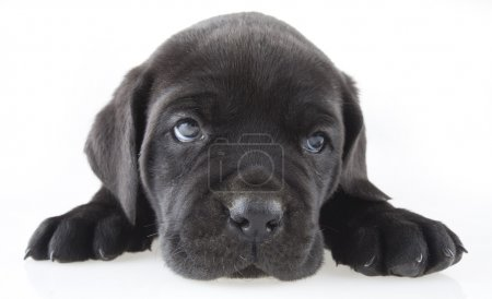 Photo for Puppy dog - Royalty Free Image