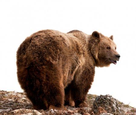 Photo pour Ours brun Vue de profil, isolé sur fond blanc - image libre de droit