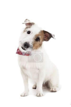 Puppy jack russel terrier dog on the white background