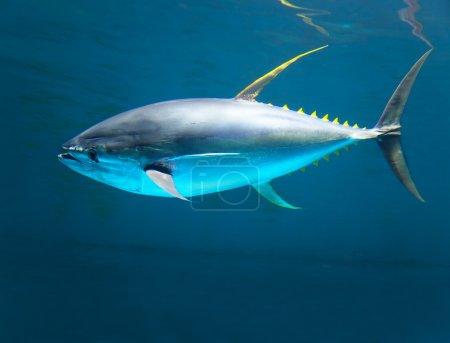 yellow gin tuna fast moving in the ocean