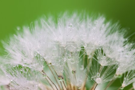 White Dandelion seed with water drops on green