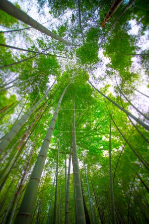 Sun shining through a forrest of long thin bamboo ...