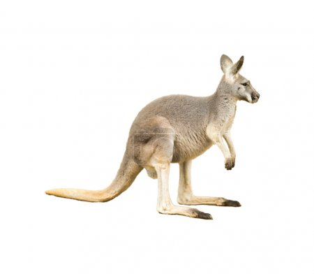 isolated kangaroo