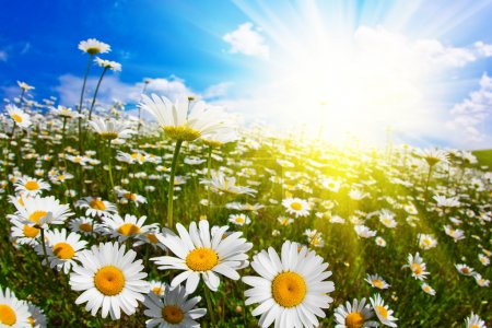Wild flowers of chamomile