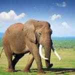 Elephant with large tusks - Addo National Park...