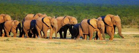 Photo pour Approche du troupeau d'éléphants sur les plaines vertes - Parc national Addo - image libre de droit