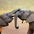 Elephants touching each other gently (greeting) - ...