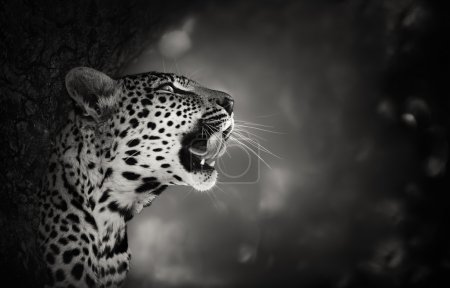 Photo for Leopard Portrait (Artistic processing) - Kruger National Park - South Africa - Royalty Free Image
