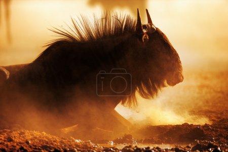 Photo pour Portrait de gnous bleu dans la poussière - désert du Kalahari - Afrique du Sud - image libre de droit