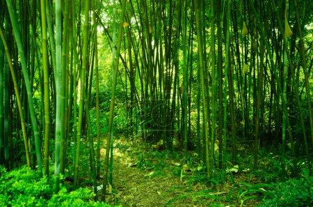 Photo pour Forêt de bambous - image libre de droit
