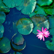 Water lily lotus flower and leaves...