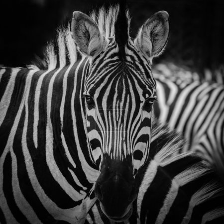 Photo for Animal zebra black and white pattern texture portrait - Royalty Free Image