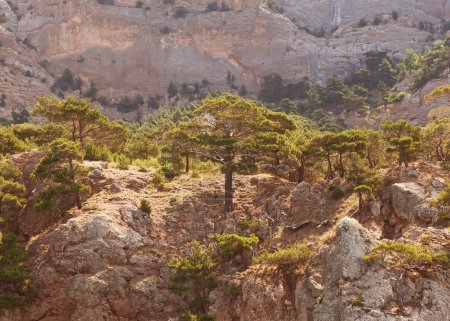 Landscape in the mountains, mighty pine trees and juniper can.