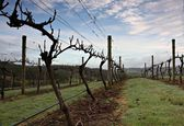 Grape Vines in Tasmania's Tamar Valley