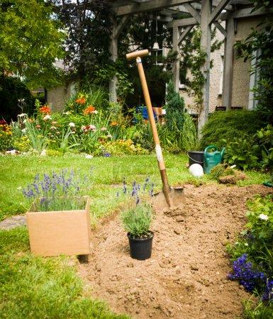 Photo pour Travail en jardin-lavande prêt pour la plantation - image libre de droit