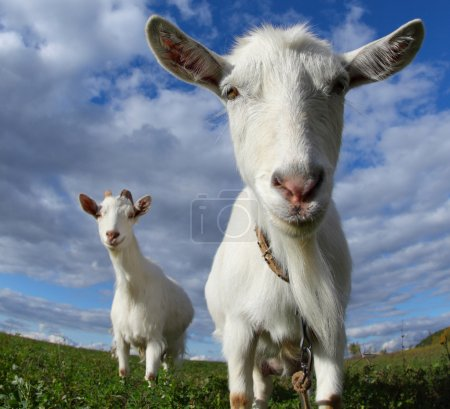 Portrait of a funny goats looking to a camera over...