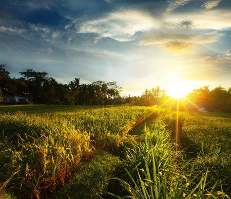 Photo pour Coucher de soleil sur la rizière. Ubud, bali - image libre de droit