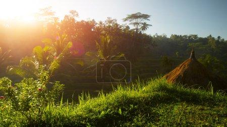 Photo pour Champs verdoyants avec riz et la paume arbres dans la ville d'ubud au lever du soleil. Bali, Indonésie - image libre de droit