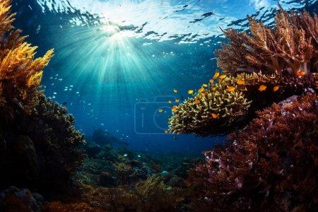 Photo pour Plan sous-marin du récif corallien vivant en mer tropicale. Parc national de Bali Barat, Indonésie - image libre de droit