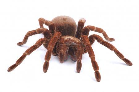 Tarantula spider, female (Theraphosa blondi)