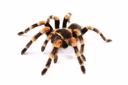 Mexican redknee tarantula (Brachypelma smithi), spider female