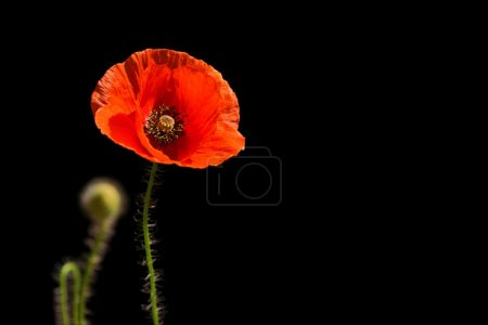 Poppy, Papaver rhoeas (common names include corn poppy, corn rose, field poppy, Flanders poppy, red poppy, red weed, coquelicot, and, due to its odour, which is said to cause them, as headache and hea