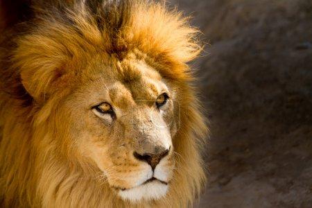Photo pour Portrait d'un lion Portrait d'un lion - image libre de droit