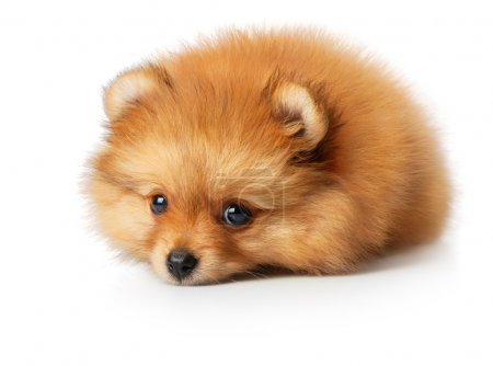 Photo for Cute little yellow baby spitz with sad eyes. Iisolated on white - Royalty Free Image