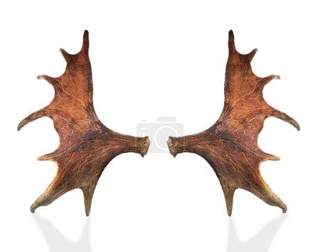 Horns of a large elk.