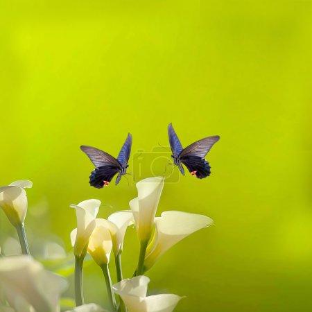 Foto de Blanco Calla lirios y mariposa con fondo verde claro agradable - Imagen libre de derechos