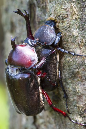 Photo for Beetle courtship for adv or others purpose use - Royalty Free Image