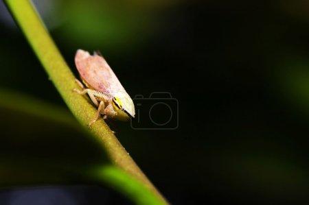 Photo pour Cicada (Magicicada) perché sur un bâton avec un fond vert pour adv ou d'autres nous proposent - image libre de droit